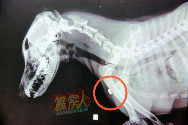 X光显示,子弹是从该只狗穿过肺部与心脏,最终卡在右前肢的肌肉。