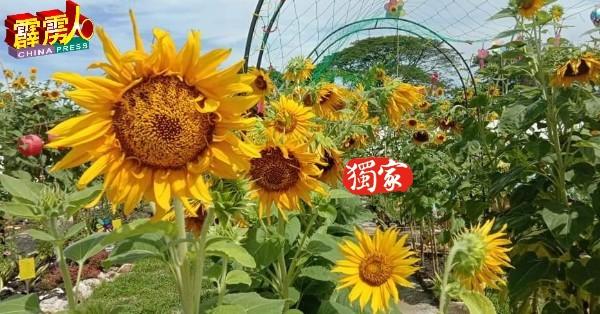 以太阳花为主题的开心乐园民宿,是新打卡景点。