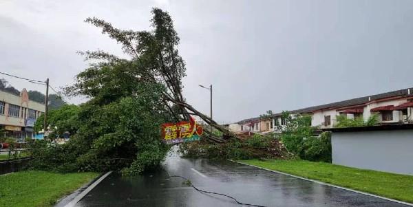 大树倒在马路中央。