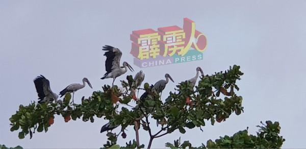 据观察,钳嘴鹳喜欢在树顶上歇息。 (受访者供)
