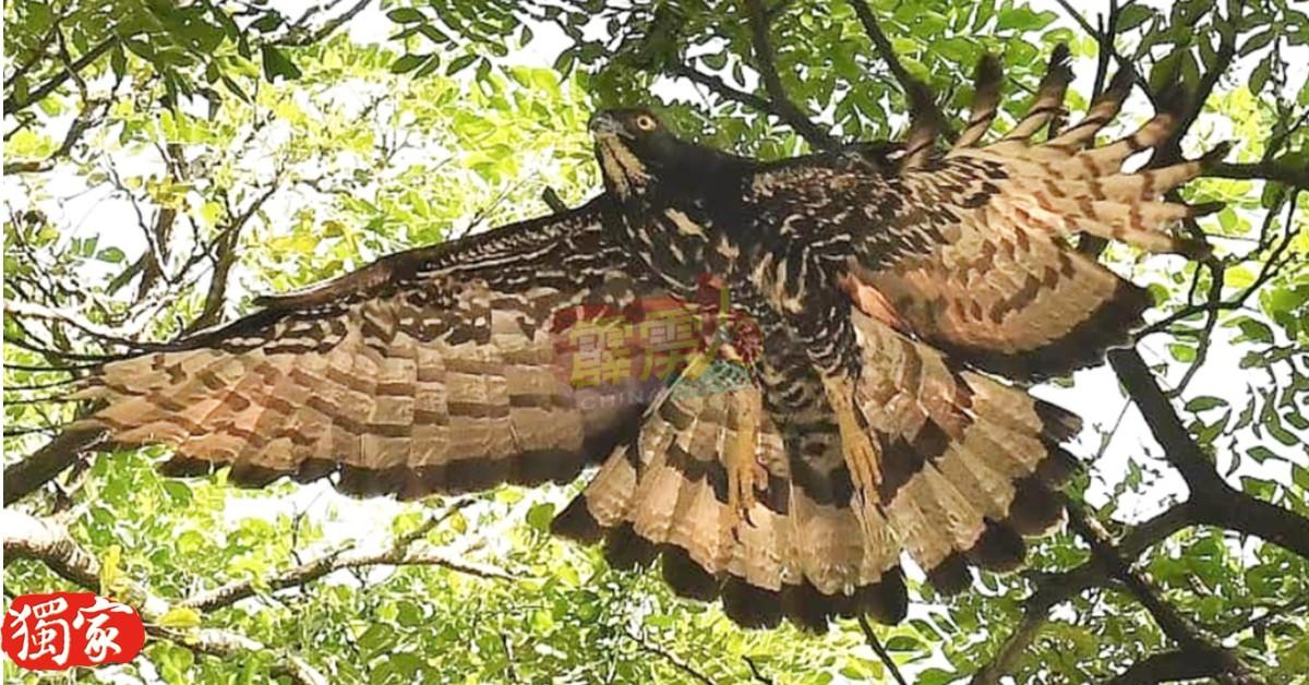 鹰妈妈的一身黑白色间隔的羽翼色泽属稀有的鹰类颜色,令观鸟者为着迷。(图由黄有福提供)