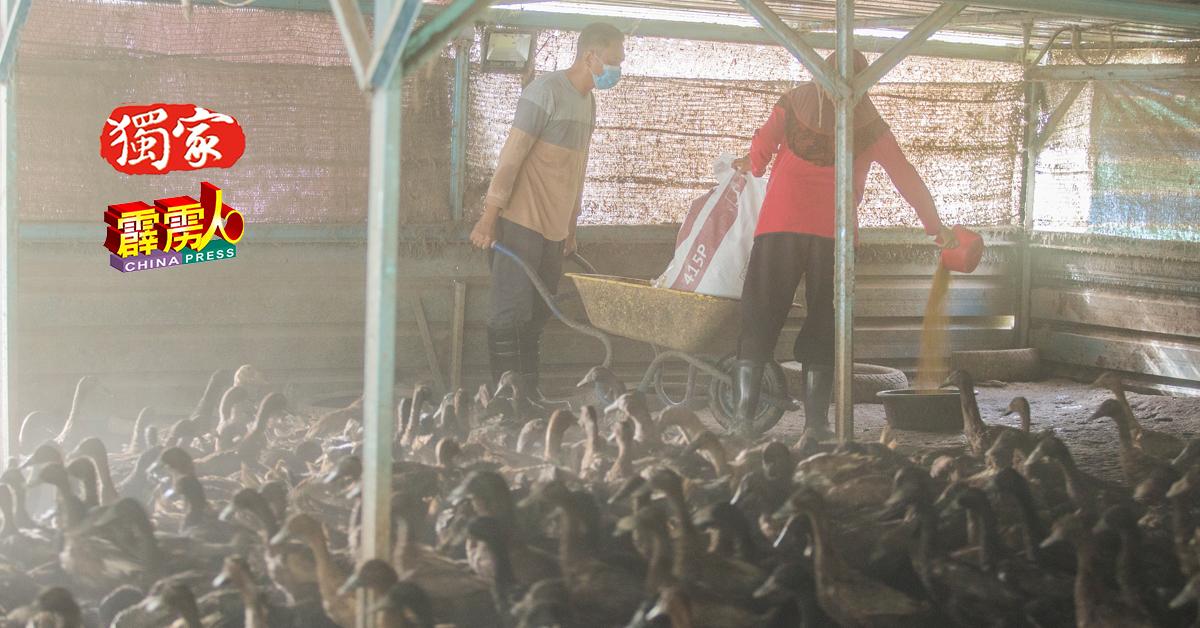 于适逢斋戒月,友人休息,太太最近都陪同到凯鲁尼占到鸭场喂食饲料,亦一同收集鸭蛋,夫唱妇随,其乐融融。