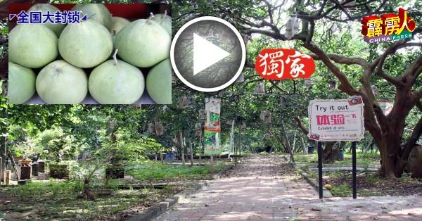 往常有游客到访参观高晶柚子园,如今冷清清。小圖:柚子在5至6月期间产量较少。