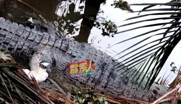 甘榜直落比利布的河边週二(8日)浮现一具长5公呎、重达约400公斤的鳄鱼尸体。