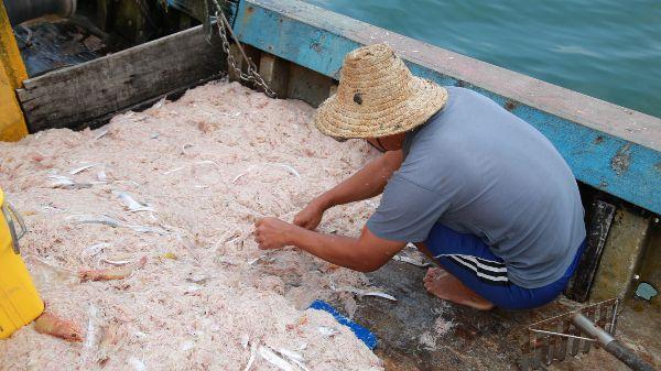 渔民捕捞峇拉煎虾上来后,需挑出少数混在其中的鱼与大虾。
