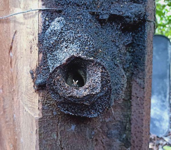 在巢穴入口处的银蜂,这类蜂不螫人。