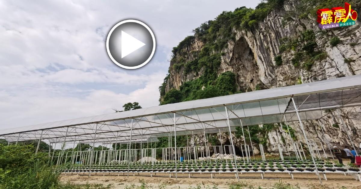 ■怡保市政厅首个在马苏拉山脚下试跑的城市农耕计划项目已开跑,并集合农耕生态旅游。
